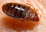 bedbug from wikipedia