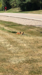 patti photo of fox