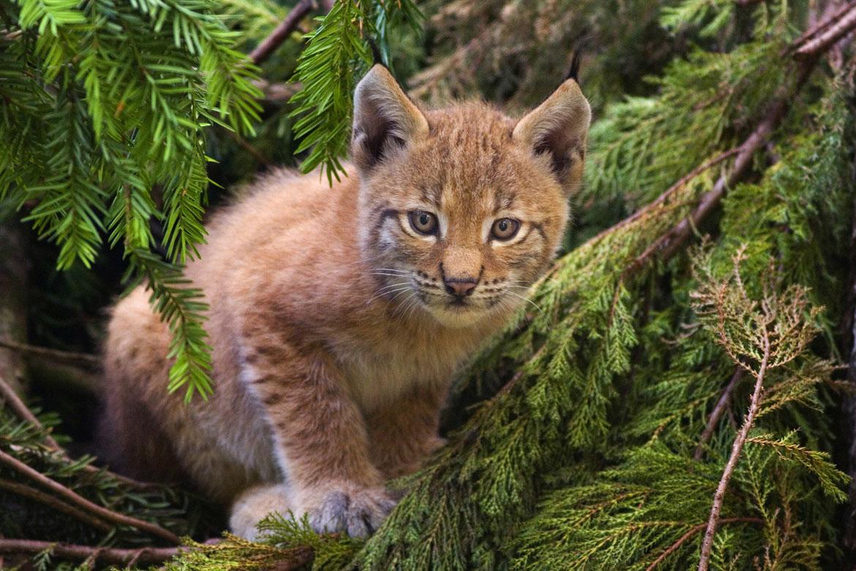 Lynx_kitten