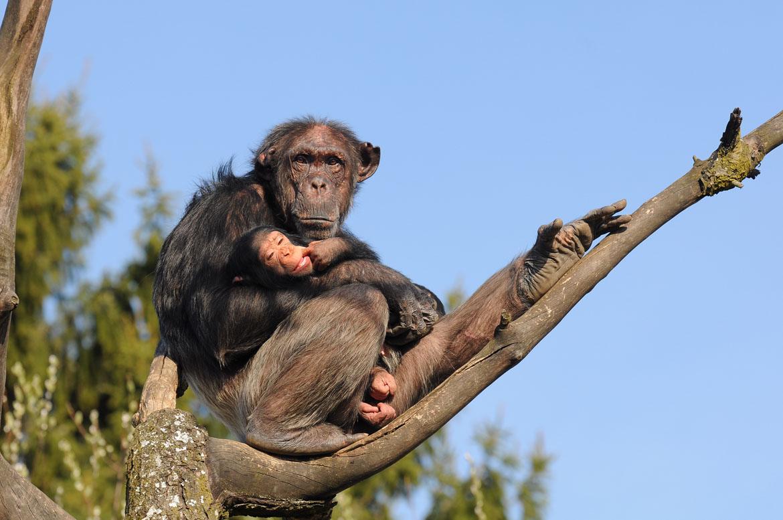 Schimpanse_Pan_troglodytes_3
